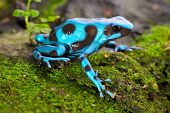 frog in tropical rain forest blue poison dart frog Dendrobates auratus of rainforest in Panama beautiful tropical amphibian with bright warning colors poster