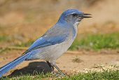 scrub jay feeding on crumbs left by campers in kodachrome basin state park utah. poster