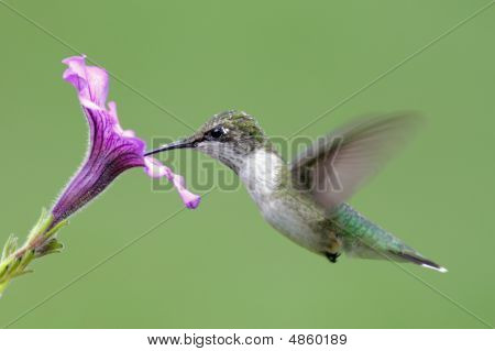 Juvenile Ruby-throated Hummingbird (archilochus colubris) in flight with a purple flower poster