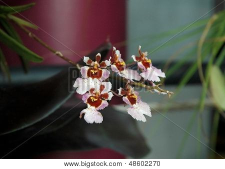 Vuylstekeara Cambria Plush Orchid