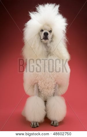poster of Full length of White Standard Poodle on red background