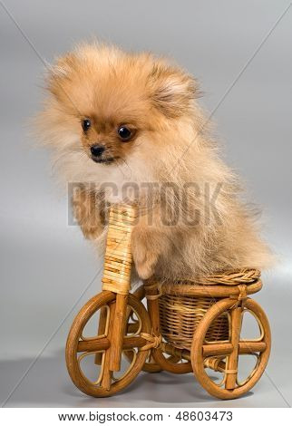 Miniature Spitz With Tricycle
