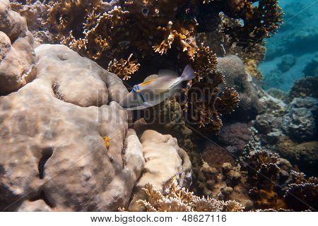 Rhinecanthus Picasso nebo Triggerfish černá Bar