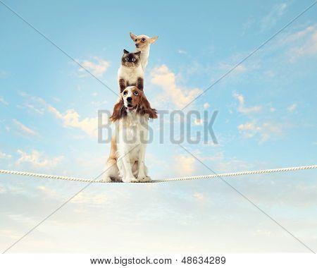 Image of spaniel dog balancing on rope poster