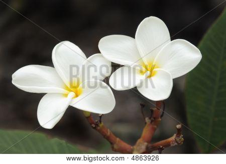 White Hawaiian Plumeria