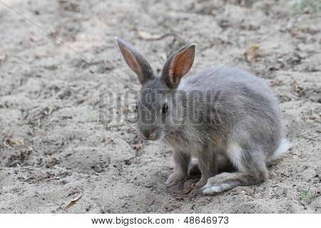 Grey Rabbit Ready To Pounce Forward With A Snappy Sprint