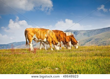 Cows on pasture in ecological environment, Zlatibor mountain, Serbia. poster