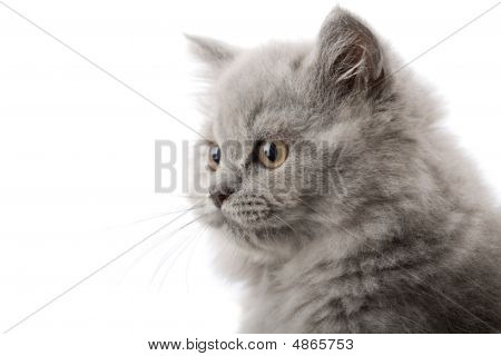 Excited british kitten isolated over white background. poster