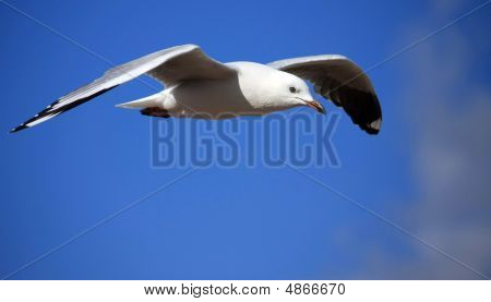 Seagull Gliding High On The Wind.