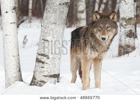 Grey Wolf (Canis lupus) Stands Near Birch Trees - captive animal poster