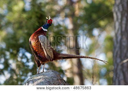 Parning appellen av en kuk fasan (Phasianus Colchicus) i profil