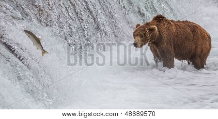 Brown Bear Looking At Salmon Jumping Up The Falls