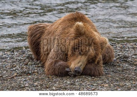 Brown Bear Taking A Nap