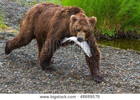 Brown Bear Walking With Salmon In Mouth
