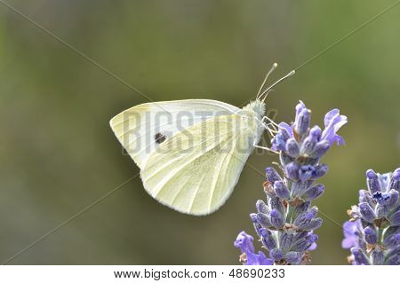 Small White Butterfly in close up