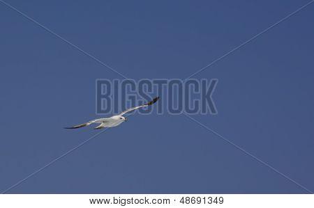 Seagull on blue sky Laridae