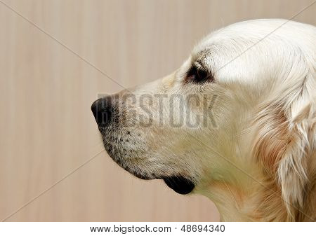 Labrador retriever, Labrador retriever portrait close up, only head crop, labrador in brown cream background looking straight with space for advertising and text, dog head, sitting in light background poster