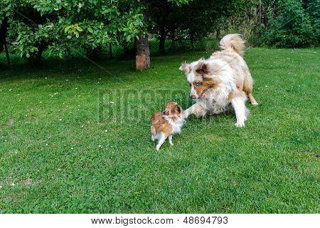Chihuahua And Australian Shepherd Frolic On The Garden