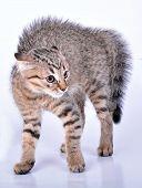 Small Scottish straight kitten looking scared. Studio shot. poster