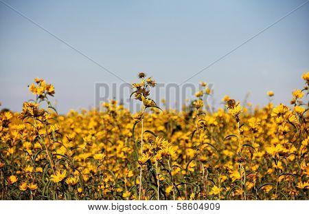 Field Of Bur-marigolds