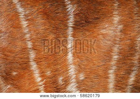 texture of real axis deer fur