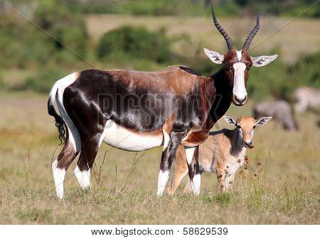 Bontebok Antelope And Baby