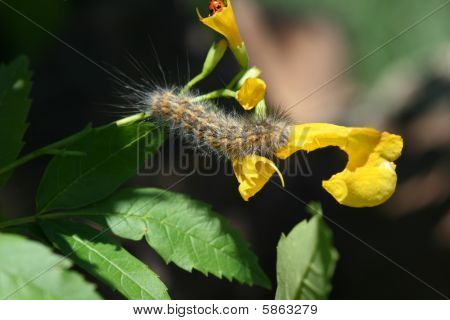 Caterpillar And Lady Bug