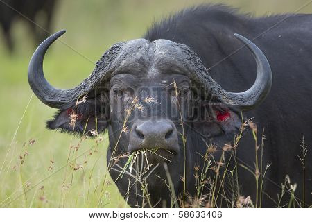 Male Cape Buffalo (synceros Caffer) South Africa