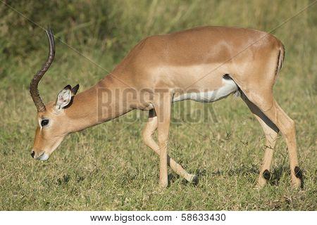 Male Impala (aepyceros Melampus) South Africa