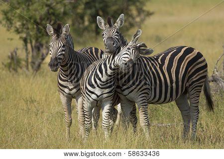 Herd Of Plains Zebra (equus Burchellii) In South Africa
