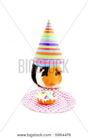 Guinea Pig Wearing Party Hat Is Eating A Birthday Cake Isolated On White