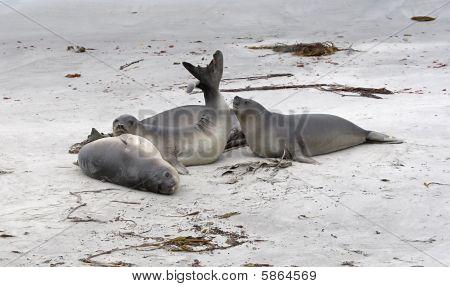 Southern Seals (mirounga Leonina)