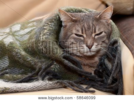 portrait home tabby gray cat resting in a blanket poster