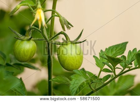 Green Grape Tomatoes On The Vine In The Garden
