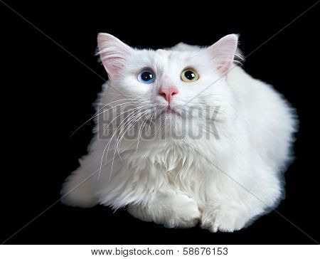 poster of beautiful fluffy white cat with different eyes isolated on a black background