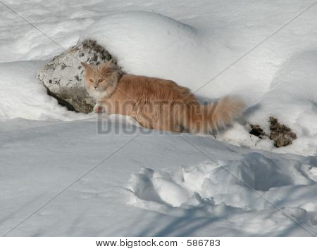 Long Hair Cat In Snow
