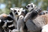 Ring tailed lemurs huddle together on a fence poster