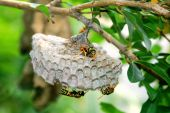 Wasp lay eggs on nest in summer poster