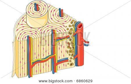 Bone Detail cortical bone