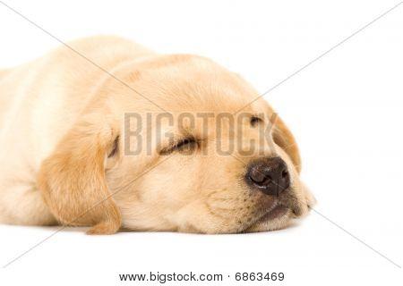 Sleepy Puppy Labrador Retriever
