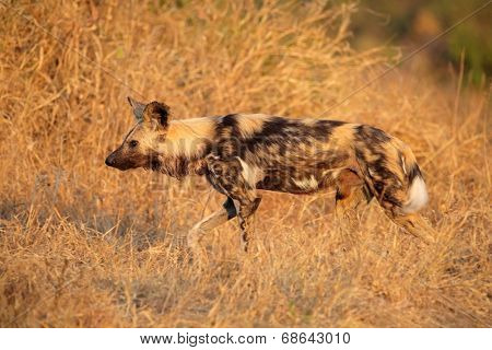 African wild dog or painted hunting dog (Lycaon pictus), Sabie-Sand nature reserve, South Africa