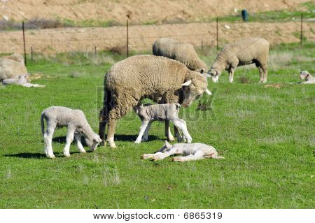 California spring lambs eat, sleep and play in green field with mother ewes poster