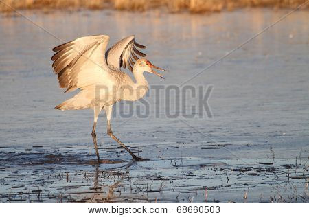 Sandhill Crane (Grus canadensis) at sunrise in the Bosque del Apache in New Mexico poster