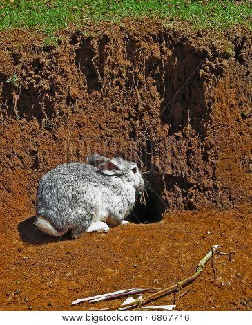 Gray Rabbit