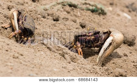 Fiddler Crabs In The Sand