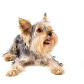 pupyy Yorkshire Terrier in front of a white background poster