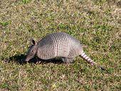 Profile of a wandering armadillo on Amelia Island, Florida poster