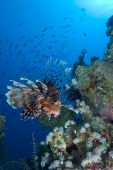 Common lionfish (Pterois miles) low wide angle view of one adult over coral reef. Gulf of Aqaba Red Sea Egypt. poster