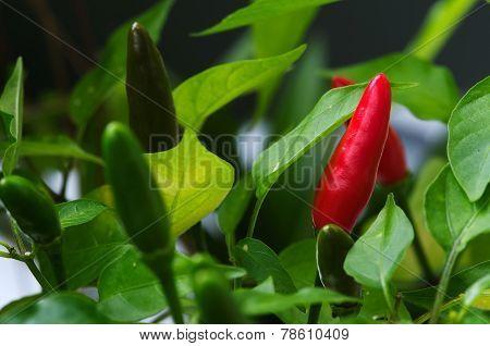 Bird's Eye Chili Fruits - Capsicum Frutescens