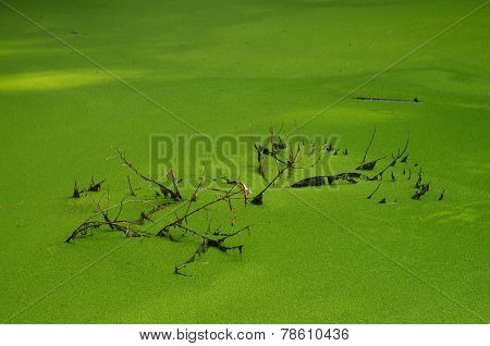 Duckweed Lake And Dead Branches